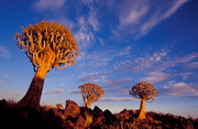 Quivertree forest Ke