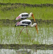 Painted stork in ric